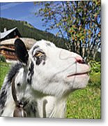 Hungry Goat Metal Print by Matthias Hauser