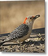 Hungry Red-bellied Woodpecker - Melanerpes Carolinus Metal Print
