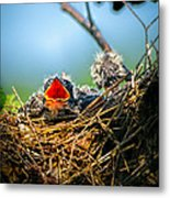 Hungry Tree Swallow Fledgling In Nest Metal Print by Bob Orsillo