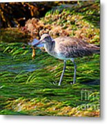 Hungry Willet Metal Print