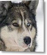 Husky Dog Breading Centre Metal Print by Lilach Weiss