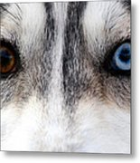 Husky Eyes Metal Print