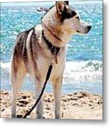 Husky On The Beach Metal Print