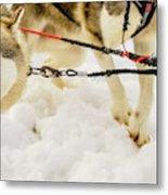 Husky Sled Dogs, Lapland, Finland Metal Print