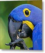 Hyacinth Macaw Anodorhynchus Metal Print
