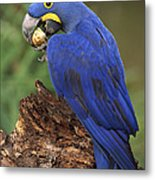 Hyacinth Macaw Eating Piassava Palm Nuts Metal Print