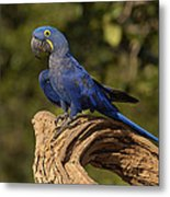Hyacinth Macaw Portrait Brazil Metal Print