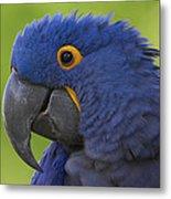 Hyacinth Macaw Portrait Metal Print
