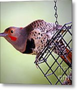 Intergrade Red Shafted And Yellow Shafted Northern Flicker Male Metal Print