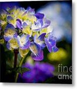 Purple Blue Hydrangea, Corona Del Mar California Metal Print