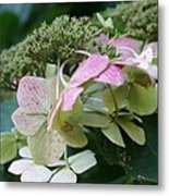 Hydrangea White And Pink I Metal Print
