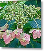 Hydrangea With A New Look Metal Print