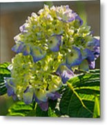 Hydrangeas First Blush Metal Print
