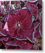 Hydrangeas In Rich Rose Color Metal Print
