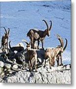 Ibex By A Glacier Metal Print