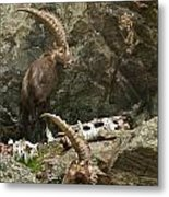 Ibex Pictures 112 Metal Print