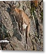 Ibex Pictures 151 Metal Print