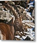 Ibex Pictures 160 Metal Print