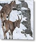 Ibex Pictures 171 Metal Print