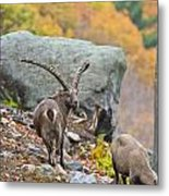 Ibex Pictures 174 Metal Print