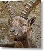 Ibex Pictures 40 Metal Print