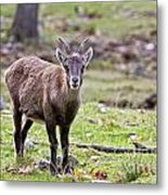 Ibex Pictures 71 Metal Print