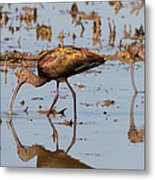 Ibis Feeding On Winter Wetlands Metal Print