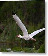 Ibis In Flight Metal Print