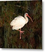 Ibis In The Cypress Metal Print