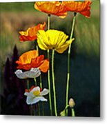 Iceland Poppies In The Sun Metal Print