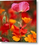 Iceland Poppies Papaver Nudicaule Metal Print