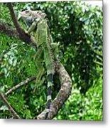 Iguana In A Tree Metal Print