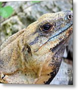 Iguana Of The Uxmal Pyramids In Yucatan Mexico Metal Print