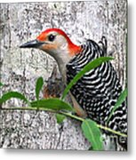 I'm So Handsome - Red Bellied Woodpecker Metal Print