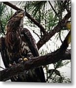 Immature American Bald Eagle Metal Print
