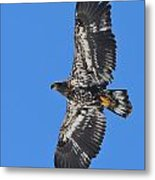 Immature Eagle Metal Print