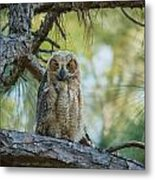 Immature Great Horned Owl Metal Print