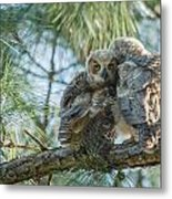 Immature Great Horned Owls Metal Print