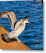 Immature Herring Gull At The Harbour Metal Print