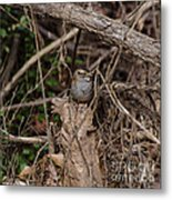 Immature White-throated Sparrow Metal Print