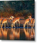 Impala Herd With Reflections In Water Metal Print