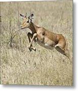 Impala Leaping Through Savanna Metal Print