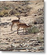 Impala Near Red River Metal Print