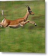 Impala  Running And Leaping Metal Print