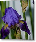 Impossible Imagined Iris Metal Print