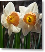 In Conversation - A Couple Of Daffodils Huddled Together Metal Print