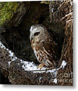 In Hiding Saw Whet Owl In A Hollow Stump Is Part Of The Birds Of Prey Fine Art Raptor Wildlife Photo Metal Print