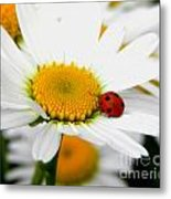 In Love With A Ladybug And A Daisy Metal Print