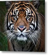 Tiger In Your Face Metal Print