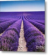 In The Lavender Metal Print